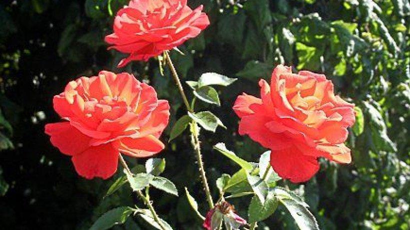 pflanzen sie jetzt robuste rosen verbraucher braunschweiger zeitung. Black Bedroom Furniture Sets. Home Design Ideas