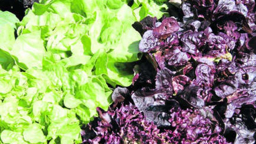 salat aus dem eigenen garten verbraucher braunschweiger zeitung. Black Bedroom Furniture Sets. Home Design Ideas